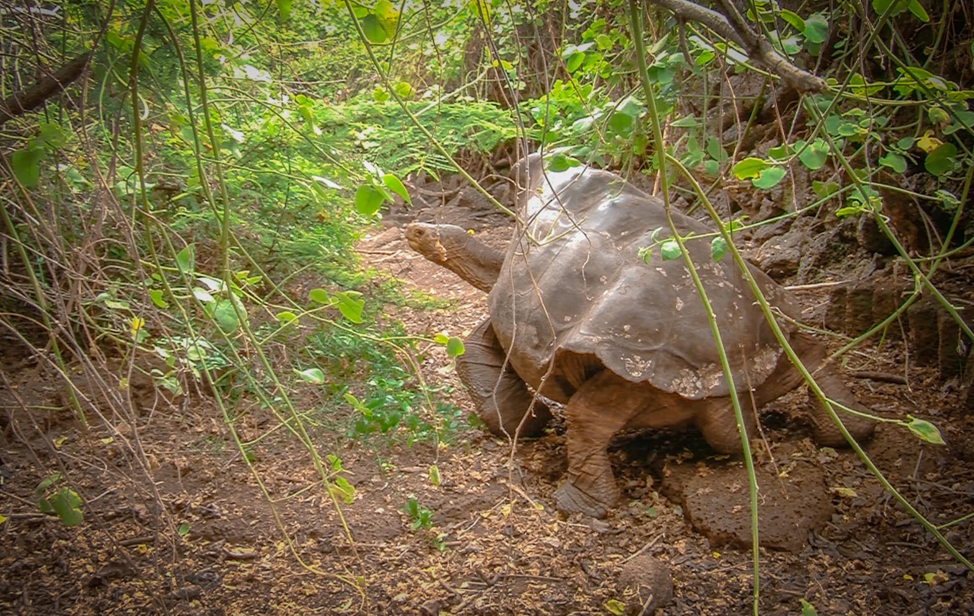 tortuga-diego-a